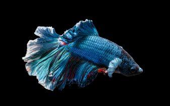 เลี้ยงปลากัดสวยงาม